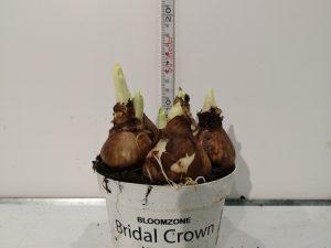 NARC D BRIDAL CROWN