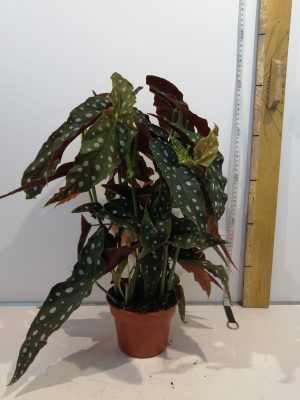 Begonia  Wightii