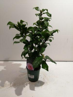 camellia in cultivars