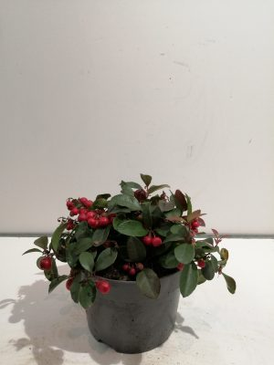 Gaultheria procumbens Big Berry