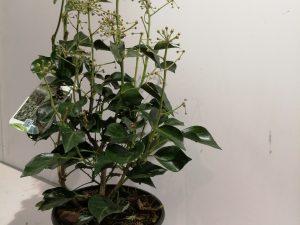 Hedera hel. 'Arborescens'