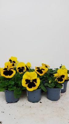 10 Viool geel grootbloemig