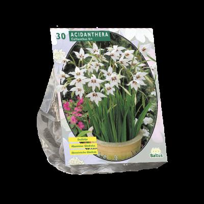Acidanthera Bicolor per 30