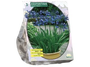 Agapanthus, Donkerblauw per 3