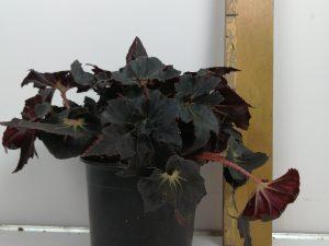 Begonia BD 'Black Fang'
