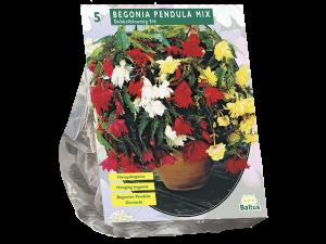 Begonia Pendula, Mix per 5