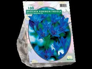 Brodiaea Fabiola per 100