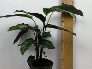 Calathea Pinstripe