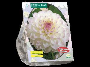 Dahlia Ball Eveline per 1