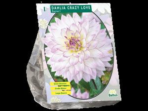 Dahlia Cactus Crazy Love per 1