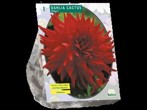 Dahlia Cactus Helga per 1