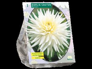 Dahlia Cactus My Love per 1
