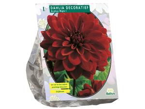 Dahlia Decoratief Arabian Night per 1