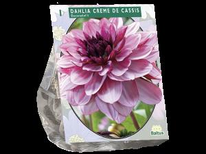 Dahlia Decoratief Creme de Cassis per 1