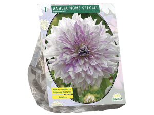 Dahlia Decoratief Mom's Special per 1