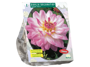 Dahlia Decoratief Twilight Time per 1