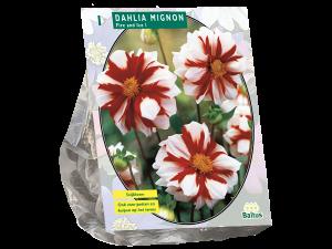 Dahlia Mignon Fire & Ice per 1