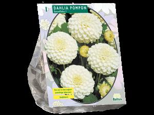 Dahlia Pompon Snowflake per 1