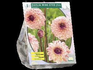 Dahlia Pompon Wine Eyed Jill per 1