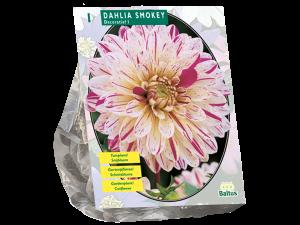 Dahlia Smokey per 1