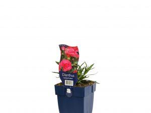 Dianthus Sunflor 'Jolina'