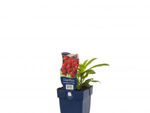 Dianthus barb. 'Barbarini Red'