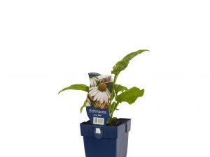 Echinacea purp. 'Alba'