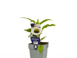 Echinacea purp. 'Virgin'