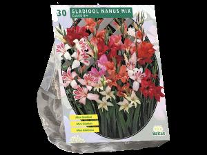 Gladiolus Nanus per 30