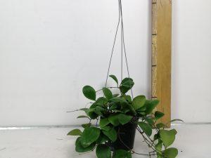 Hoya Lucardensiana