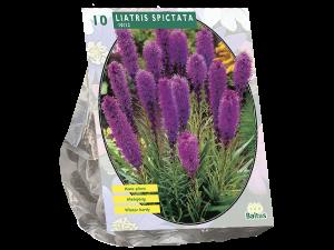 Liatris Spicata, Paars per 10