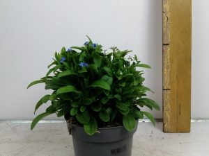 Myosotis Mon Amie Mix in pot