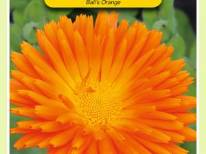 OBZ Calendula, Goudsbloem Ball's Orange