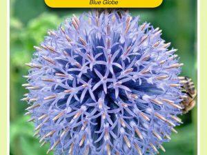 OBZ Echinops, Kogeldistel Blue Globe