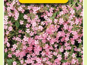 OBZ Saponaria, Zeepkruid, roze