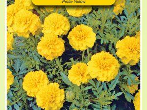 OBZ Tagetes, Afrikaan Petite Yellow