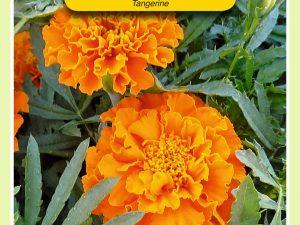 OBZ Tagetes, Afrikaan Tangerine