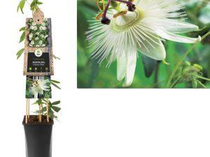 Passiflora Constance elliott
