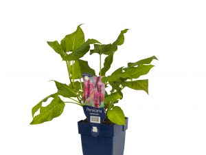 Persicaria amplexicaulis