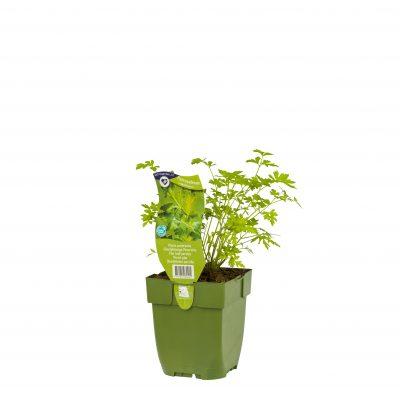 Petroselinum neapolitanum