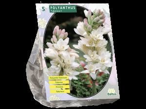 Polyanthus Tuberosa per 5