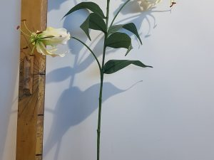 Gloriosa l80cm creme/roze