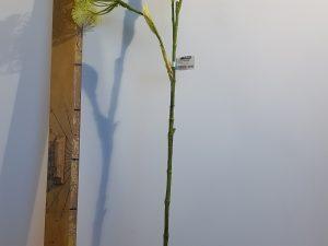 Heracleum l100cm groen