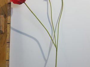 Papaver l74cm rood