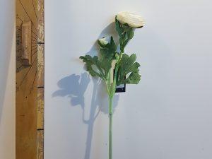 Ranunculus crème
