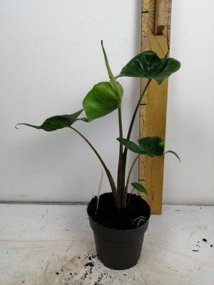 Alocasia macrorrhiza 'Stingray'14cm