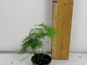 Asparagus ld Plumosus
