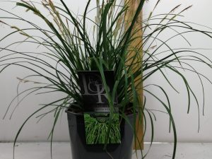 Carex 'Evergreen'
