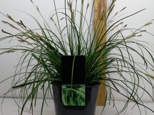 Carex 'Everlime'