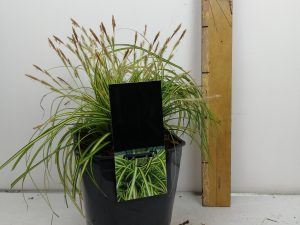 Carex 'Eversheen'